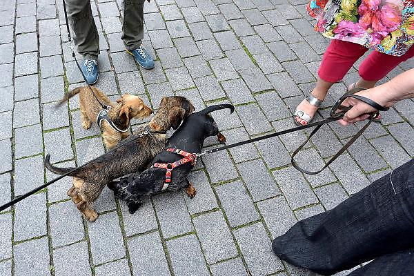 Nederland, Den Bosch, 6-9-2014Drie verschillende teckels ontmoeten elkaar tijdens een wandeling door de stad. Ze snuffelen, besnuffelen elkaar.FOTO: FLIP FRANSSEN/ HOLLANDSE HOOGTE