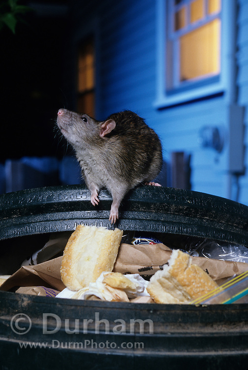 A brown rat (Rattus norvegicus) scavenging in a residential garbage can. Portland, Oregon. These rats are not native, but are european in origin and have followed human settlements around the world. Captive illustration.