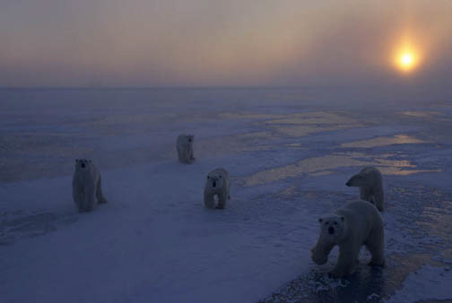 Polar Bear, (Ursus maritimus) Multiple bear on frozen ice of Churchill, Manitoba. Canada. Evening.
