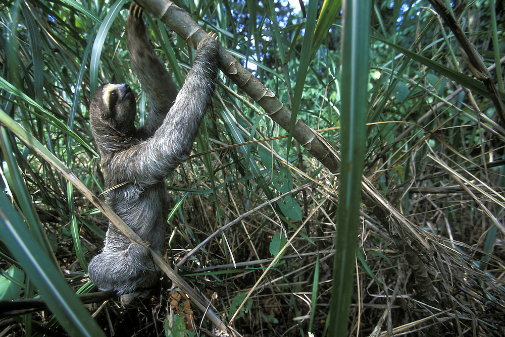 Panama, Colón Province, Three-toed sloth  (Bradypus tridactylus) climbs through dense grass in rainforest along Gatún Lake