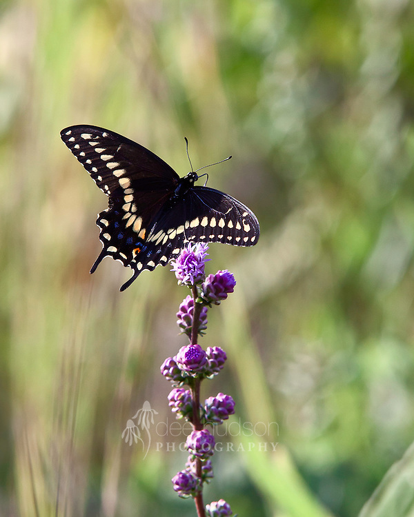 A Black Swallowtail butterfly sips nectar from a liatris.<br />
