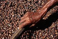 Secado de Cacao. Después de fermentados, los granos son colocados al sol por unos cuatro o cinco días, tiempo en que se ponen rojizos u oscuros. Cabe destacar que para la elaboración del chocolate son indispensables las semillas de cacao. 2001 (Ramón Lepage / Orinoquiaphoto)  Dried Cocoa. After fermented, the grains are placed to the Sun for approximately four or five days, time in which they become reddish or dark. It's necessary to emphasize that for the elaboration of the chocolate the cocoa's seeds  are indispensable. 2001 (Ramon Lepage / Orinoquiaphoto)