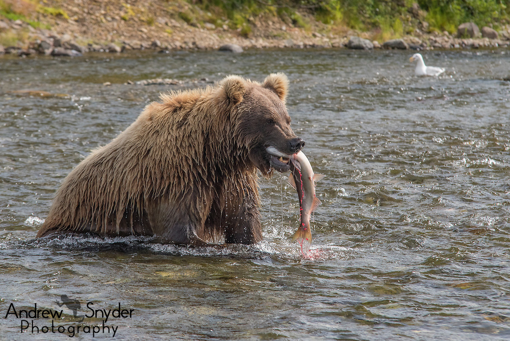A brown bear (Ursus arctos) with a freshly caught sockeye salmon - Katmai, Alaska