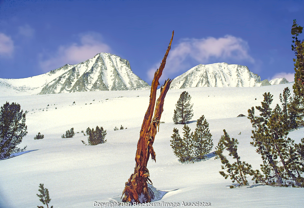 An old Foxtail Pine rises up through the late winter snow below California's Sierra Crest.