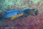 Two male Petrotilapia sp. fight for territory and females in the shallows of Masimbwe Island, Likoma Island, Lake Malawi, Malawi, Africa.