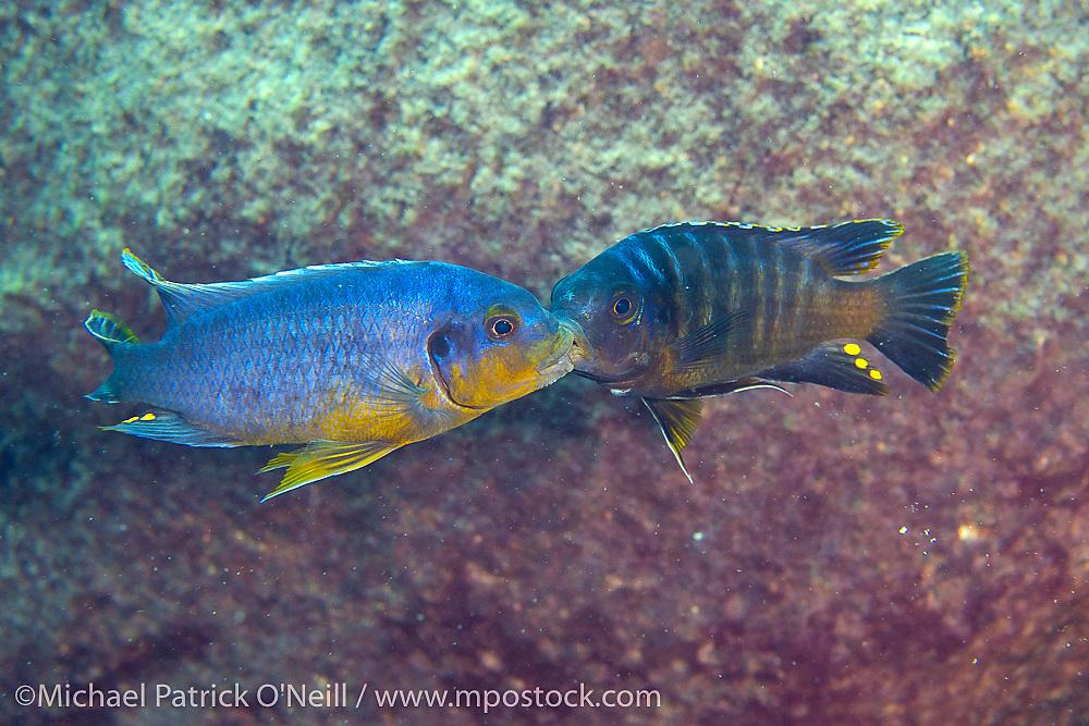 Two male Petrotilapia sp. fight for territory and females in the shallows of Masimbwe Island, Likoma Island, Lake Malawi, Malawi, Africa.