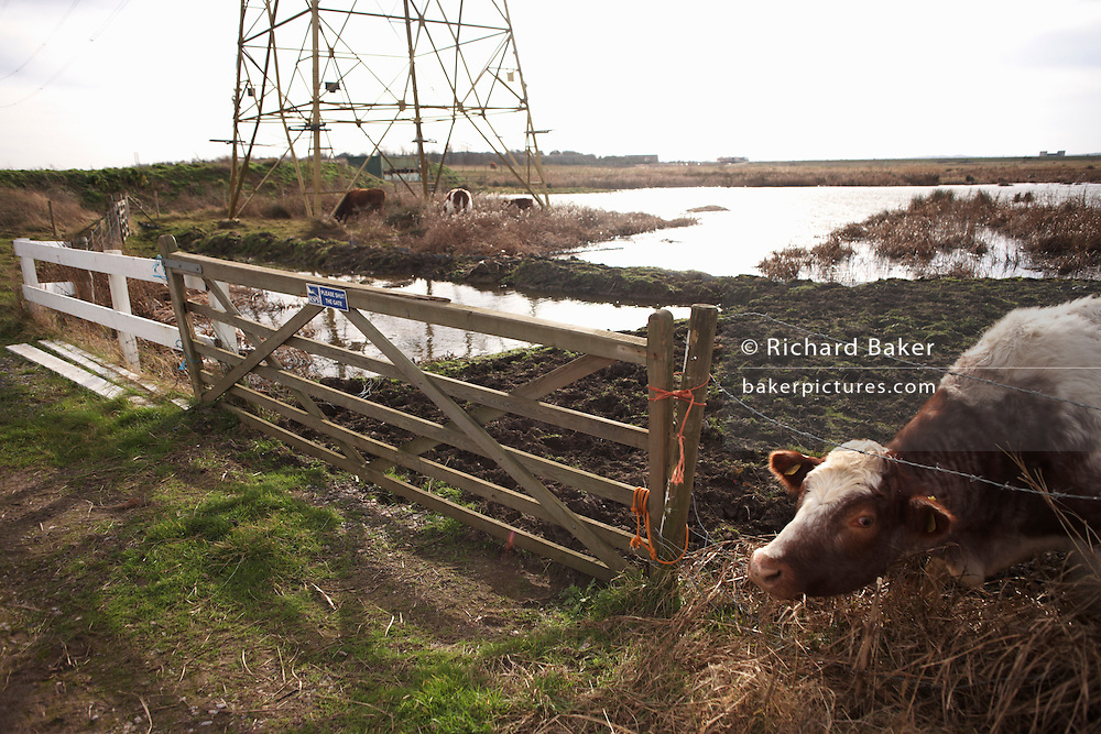 Grazing cow pokes her head through barbed wire with pylons behind at the RSPB wildlife sanctuary at Rainham Marshes