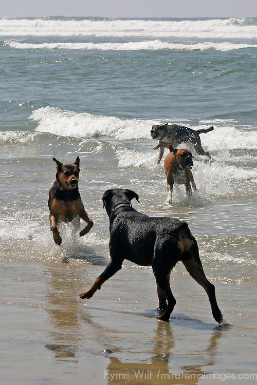 USA, California, Del Mar. Dogs playing in ocean at Dog Beach Del Mar.