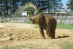 A baby elephant at ZSL Whipsnade Zoo covers himself in sand - seconds after keepers finish scrubbing him squeaky clean..Pint-sized pachyderm Scott was born in October 2011, after a whopping 700 day pregnancy - almost two years. Not only was it the longest pregnancy ever recorded at the Zoo,  Scott is also the smallest elephant calf ever born at Whipsnade, weighing just 16 stone, UK, on 02 May 2013, 03 May 2013. Photo by:  i-Images