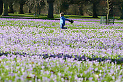© Licensed to London News Pictures. 21/02/2014. Kew , UK. Charlie Watson aged three runs next to the colourful flowers. People walk through the spring crocus at Kew Garden's Surrey today 21 February 2014. Photo credit : Stephen Simpson/LNP