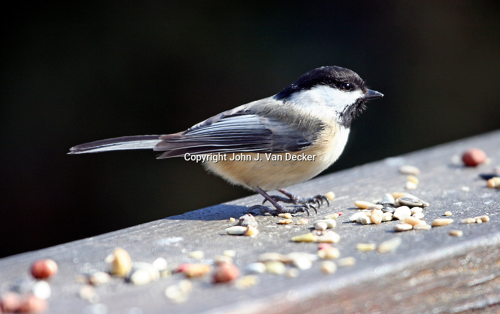 Black-capped Chickadee, Poecile atricapillus, in profile lookiing right