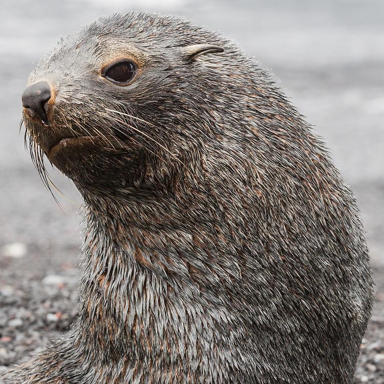 Young Antarctic fur seal, Baily Head on Deception Island, Anarctica  2014