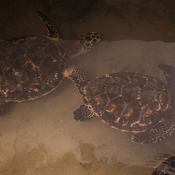 Baby Sea Turtles, Turtle Island, Yasawa Islands, Fiji