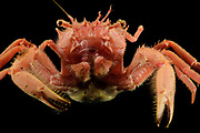 Deep sea carrier crab (Homolidae sp.) Central equatorial Atlantic Ocean, Saint Peter and Saint Paul Archipelago, Brazil #STP17 [first published through bioGraphic, a program of the California Academy of Sciences] |