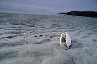Clam shell on the dark sand beach at Hornby Island, BC