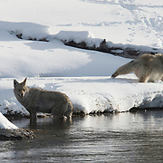 A pair of male coyotes in a territorial dispute during mating season. Yellowstone National Park