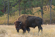 Earlier this year the American Bison was declared the national mammal of the United States. The bulls can weigh up to 2000 pounds making them the largest mammal in North America. Once numbering in the tens of millions, bison nearly became extinct at the end of the 19th century. In 1913, bison were successfully reintroduced to Wind Cave National Park, shipped by rail from New York City. Today this is one of the only genetically pure bison herds, without any cattle genes. Even though I've seen plenty of bison before, Wind Cave in the Black Hills is the only place where I've actually hiked with them right next to the trail. At first they may appear calm and lazy. But you shouldn't get too close since they are very temperamental and can charge at speeds of up to 40 mph.