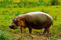 Hippopotamus, Ngorongoro Crater, Ngorongoro Conservation Area, Tanzania