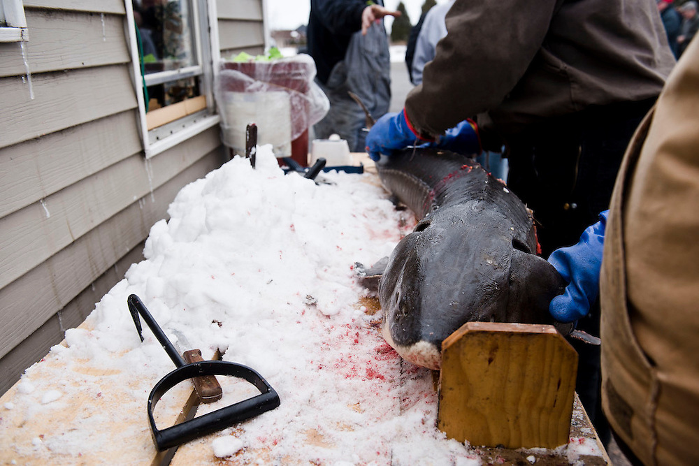 STOCKBRIDGE, WI -FEB. 16, 2015: Spear fishermen bring in their catch of the day to the registration station at Harbor Bar in Stockbridge, WI to weigh and measure the sturgeon Monday, Feb. 16, 2015. 13,000 licenses were sold for the 2015 sturgeon spearing season, and 233 fish were caught Monday between all of the registration stations, with 62 being registered in Stockbridge. The season started Feb. 14, 2015 and lasted until Feb. 21, 2015 on Lake Winnebago with a total of 1870 sturgeon speared. The average success rate for spearers is 10-12% and some people go years without spotting anything from their shanty. Lauren Justice for The New York Times