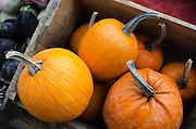 Rain falling on a crate of New England Pie Pumpkins at the Common Ground Fair farmers market, Unity Maine.