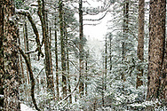 A fresh layer of snow coats the fir trees in the Black Forest of Taiwan's Snow Mountain Trail.