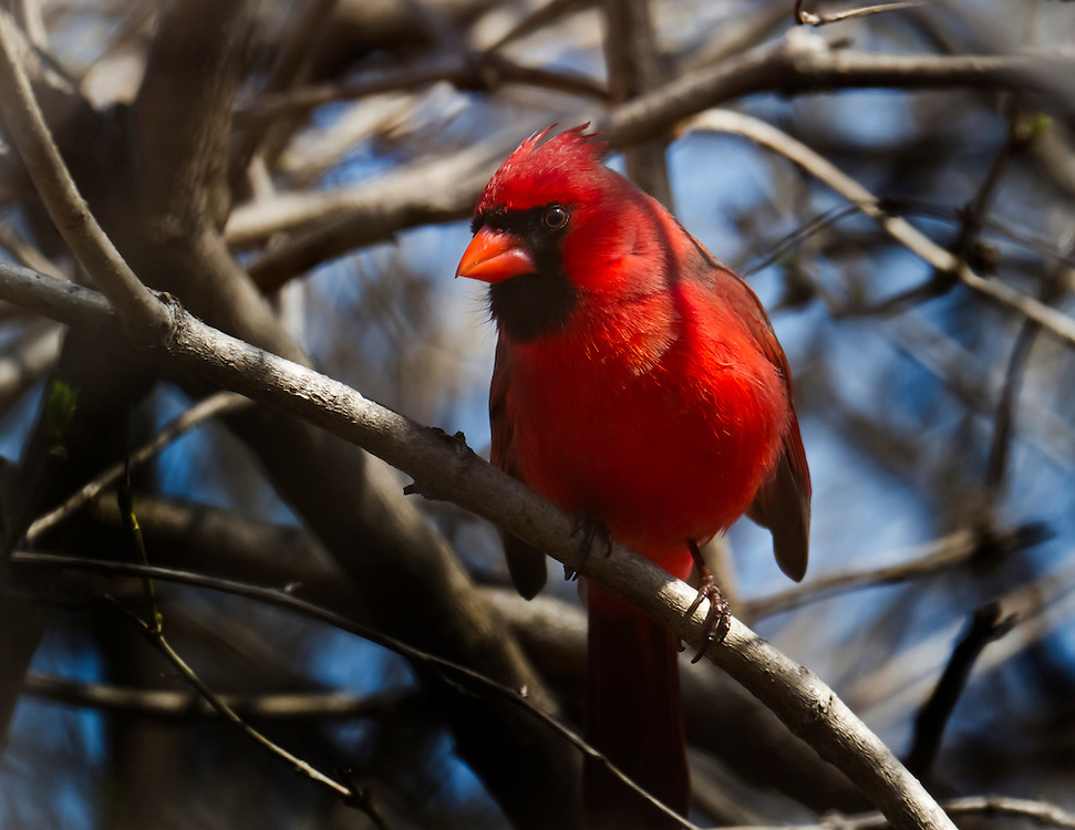 This beautiful cardinal was hiding only feet away from me. Almost too close to me to focus my lens.