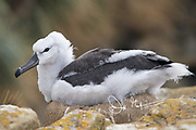 A Black-browed albatross chick sits on a nest.