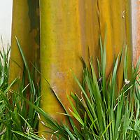 Pau-mulato, Calycophyllum spruceanum, Instituto Moreira Salles, Rio de Janeiro, Brasil, foto de Ze Paiva, Vista Imagens.