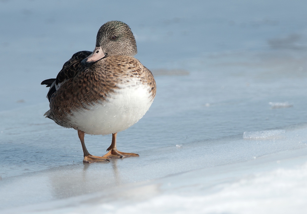 A Brewers duck stands on an ice shelf along a river.