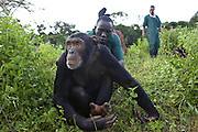Chimpanzee<br /> Pan troglodytes<br /> Rodney Lemata (Caretaker) playing with rescued chimpanzee(s) <br /> Ngamba Island Chimpanzee, Sanctuary <br /> *Model release available - Release #MR_007<br /> d