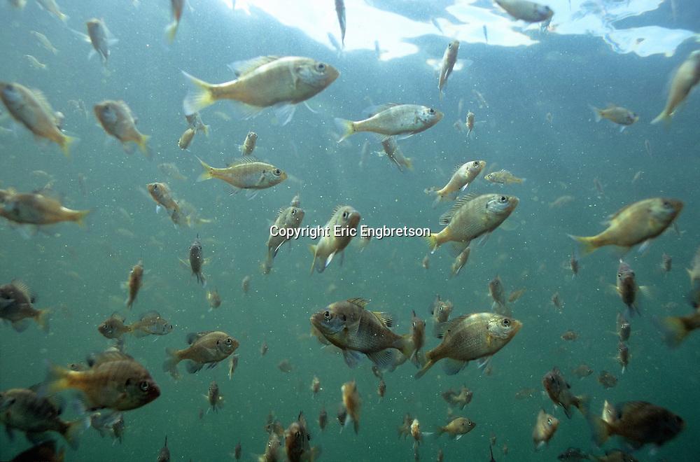School of Bluegill<br /> <br /> Engbretson Underwater Photo