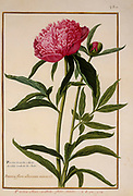 peony or paeony a 17th century hand painted on Parchment botany study of a from the Jardin du Roi botanical Florilegium of Prince Eugene of Savoy collection, Paris c. 1670 artist: Nicolas Robert