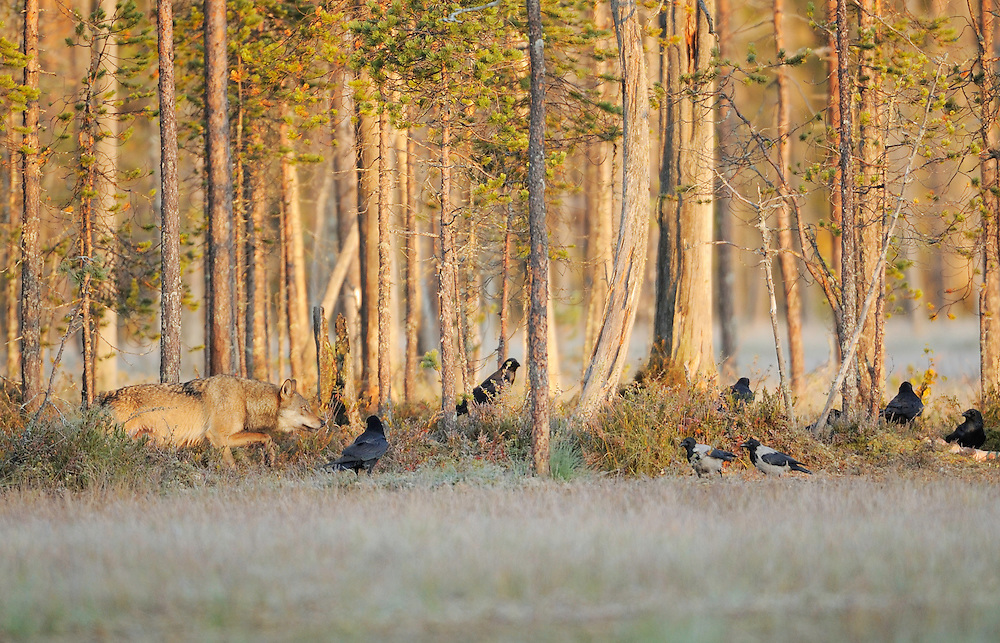 Eurasian wolf, Canis lupus, Ravens, Corvus corax and Crows ,Corvus corone cornix in Kuhmo, Finland..