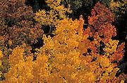 Backlight on golden fall aspen in the Sangre De Cristo Mountains, Santa Fe National Forest, New Mexico