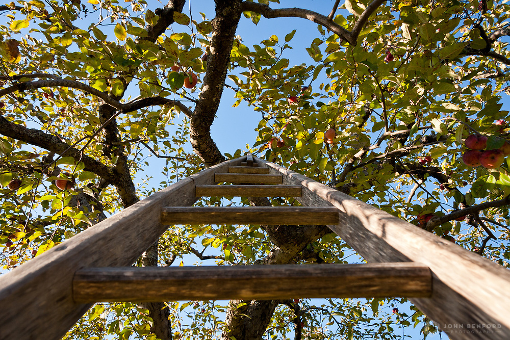 Looking up a wooden apple ladder resting in a fruited apple tree. Apple ladders are shaped like an inverted V so they can fit into tight spaces and rest securely among tree branches.