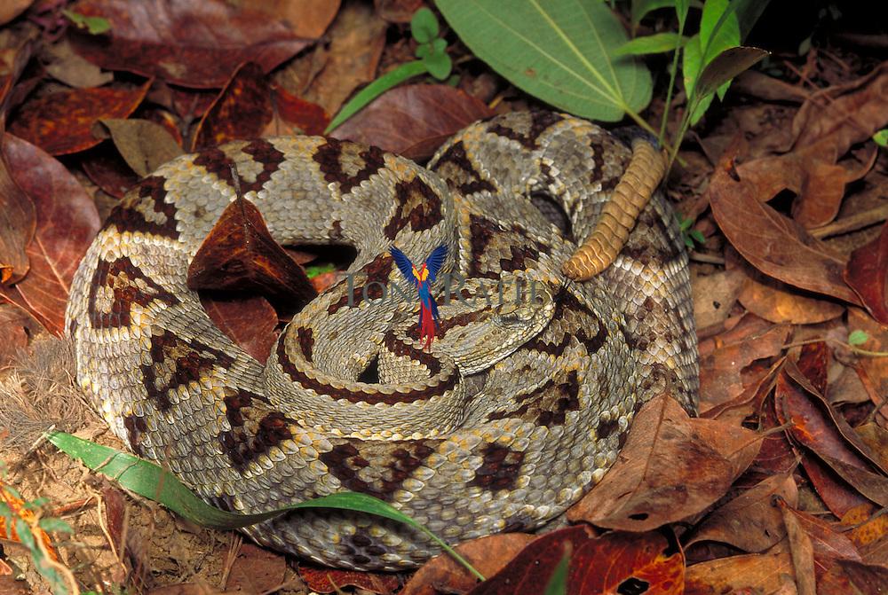 Rattlesnake, Crotalus durissus, Belize