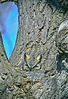 Great Horned Owl (Bubo virginianus) peeking out of her nest in a cottonwood tree.  Nebraska.