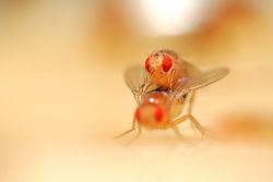Mating Fruit Fly (Drosophila melanogaster) in a lab culture (wild type)    Nach einer Umwerbung durch das Männchen läßt dieses Taufliegen-Weibchen (Drosophila melanogaster) des Wildtyp-Zuchtstammes die Begattung zu. Während der mehrere Minuten dauernden Paarung bieten die Vorderbeine und die Verbindung der beiden Geschlechtsöffnungen dem Männchen Halt auf dem Hinterleib des Weibchens.