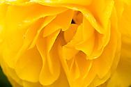 close up view of yellow rose petals with rain drops