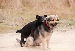 Small dog mounting a large dog