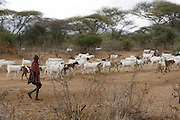 TANZANIA. Longido Mountain Area..August 3rd 2009..A Maasai kid and his herd..