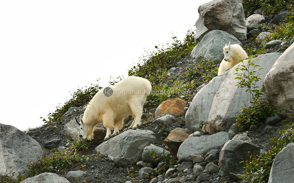 A nanny and baby mountain goat graze on the steep vegetated hillside of Tracy Arm fjord near Juneau, Alaska.