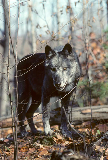 Gray Wolf, (Canis lupus) Lone gray-colored wolf standing in timber. Late fall. Michigan. Captive Animal.