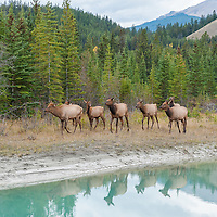 cows and calf elk walking along a stream reflection
