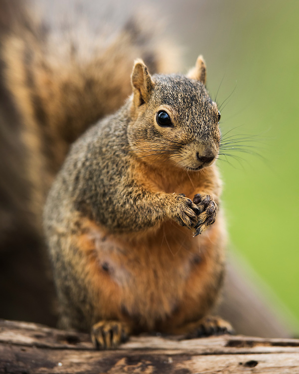 Fox Squirrel, Sciurus niger<br /> Photographers:  Bill Harvey &amp; R. Dean Johnstone<br /> Properties:  Formosa Tejano Wetlands / Formosa Plastics Corp.-Texas &amp; Serenity Now Photo Ranch / R. Dean Johnstone<br /> Jackson/Calhoun Counties