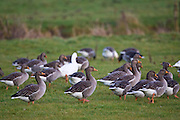 Greylag Geese, Swinbrook, Oxfordshire, UK. Free-range birds may be at risk if Avian Flu  bird flu virus spreads.