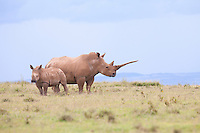 White rhino and calf photographed on Solio Ranch in northern Kenya.