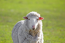 A sheep near Cressy in northern Tasmania.