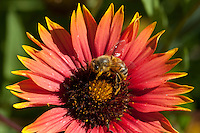 Indian Blanket and Bee, Llano County