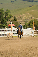 Calf roping on mule (Mulas mula) at Montana Mule Days, <br /> MODEL RELEASED